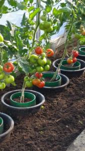 Volkstuin Vlijmen Tomaten